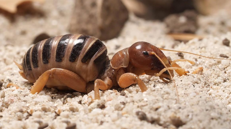 Potato Bugs (Jerusalem Cricket) Bite