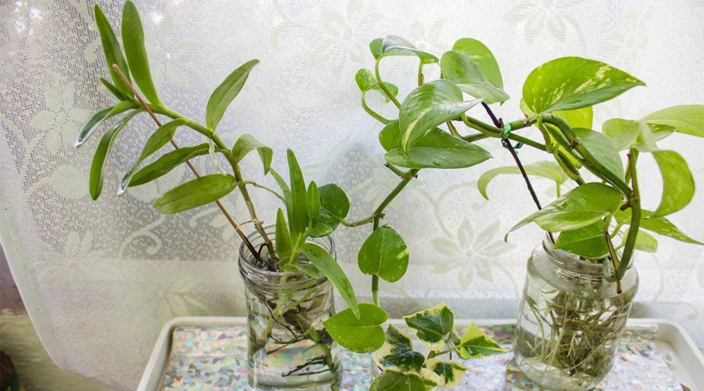 Best House Plants That Grow In Water