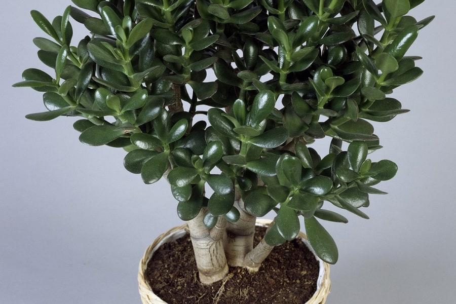 Guiana Chestnut - Jade plant