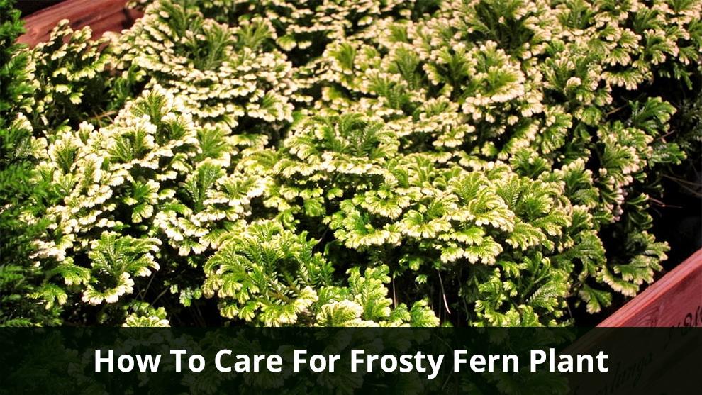 Frosty Fern Plant