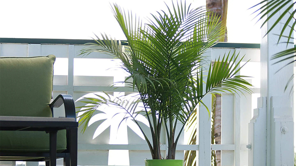 Take Care Of A Majesty Palm