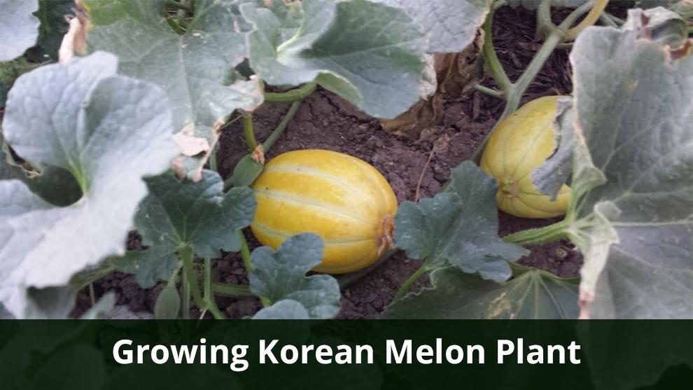 Growing Korean Melon Plant