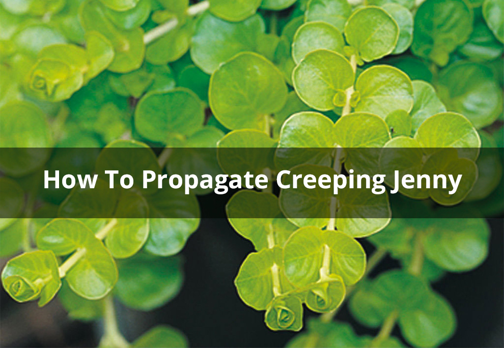 Creeping jenny - Proven Winners Goldilocks Creeping Jenny Lysimachia Live Plant